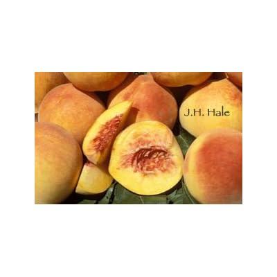 J.H. Hale Peach - 2 Year Old 4-5 Feet Tall : Garden & Outdoor