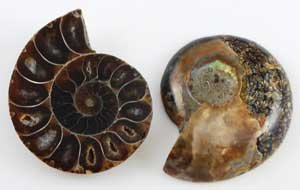 where to find ammonite fossils