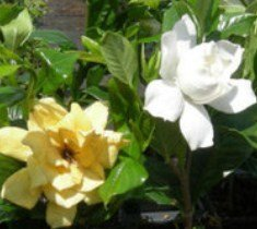 Mystery Gardenia Plants ( Cape Jasmine )( 1 Gallon ) (Gardenia Cape Jasmine)