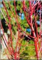 (Sango Kaku Coral Bark Japanese Maple - 1 Year Graft)
