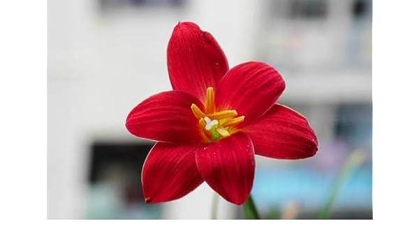 Amazon Com Red Lycoris Lily Rain Lily Bulbs 2 Bulbs Perennial