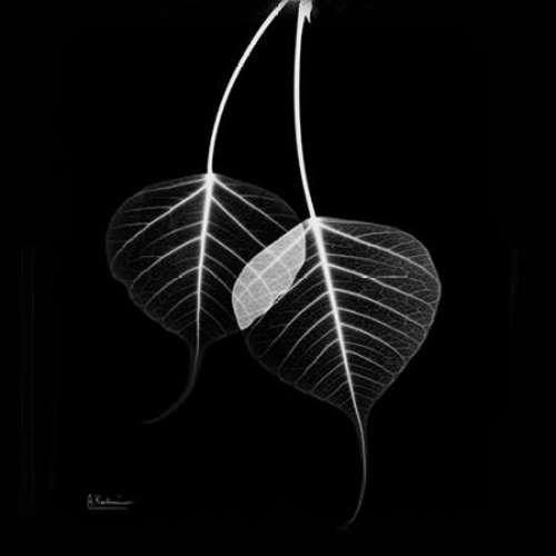 bodhi-tree-star-by-albert-koetsier-20-x-20-giclee-canvas-art-print