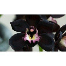 Black Orchid - 1938 - Premium Fragrance Oil - 2 oz - Candle Making, Soap Making, Home and Office Diffusers, Hair and Body ()