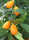 1-2 Year Old Nagami Kumquat Tree in Grower's Pot
