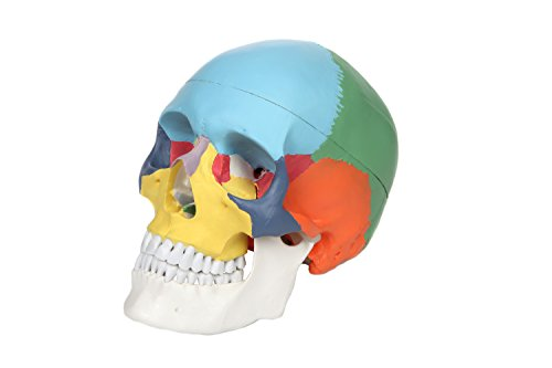 Axis Scientific 3-Part Painted Human Skull Model | Life Size Plastic Colored Skull is a Medical Quality Molded from a Real Human Skull | Includes Detailed Product Manual | 3 Year Warranty