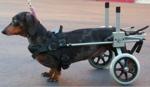 Huggiecart Dog Wheelchair Size 3 R for Small Dog Approximate Weight 18 to 40 Lbs