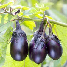 (Patio Baby Eggplant 40+ Fresh Organic Seeds for The 2019)
