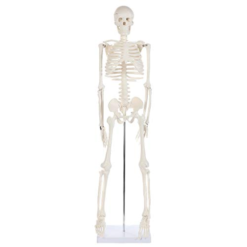 Anatomy Lab Half Life Size Human Skeleton Model | Mini Skeleton Has Movable Arms and Legs | Small Plastic Skeleton Measures Almost 3 Feet Tall and Details Almost All of the Human Bones