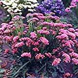 Marigold - Bur - (Bidens Aurea) - 50 seeds