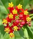 Hinterland Trading Butterfly Scarlet Milkweed Flower Seeds 50+ Monarch Butterfly Habitat