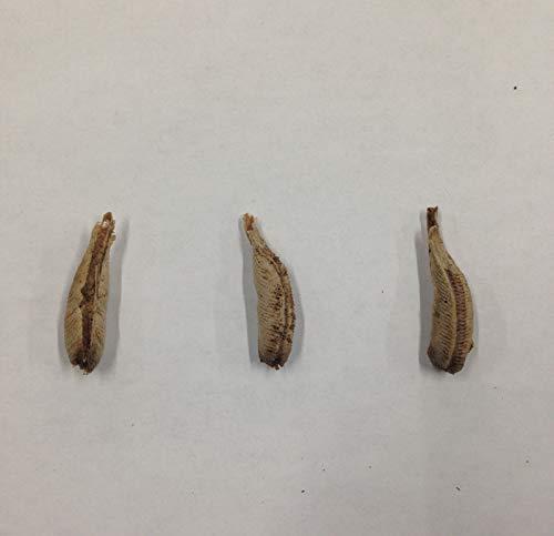 Nature S Good Guys Carolina Praying Mantis Egg Case 3 Praying