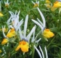 IDEA HIGH Nemesia - Masquerade - 40 Seeds