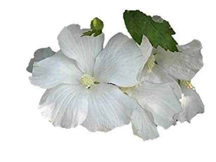 Rose Of Sharon Diana Tree 6 12 Hibiscus Syriacus Diana 35 Potted Healthy Tree 3 Pack By Growers Solution