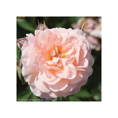 Apricot Drift Rose : Garden & Outdoor
