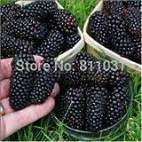 Hot Sale!!! 20 Seeds / Pack, Black Mulberry Seeds Morus Nigra Tree Garden Bush Seed DIY home garden
