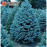 - Best Selling!!! Pack 100 Pcs Blue Spruce Seeds Picea Tree Potted Bonsai Courtyard Garden Bonsai Plant Pine Tree Seeds
