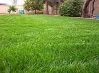 The Dirty Gardener Gulf Annual Ryegrass Seed - 50 Pounds