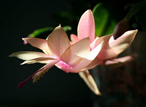 (Hirt's Peach Christmas Cactus - Zygocactus - 2.5