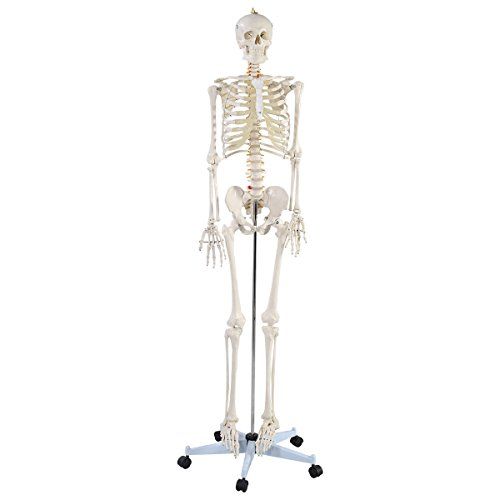 Giantex Life Size Human Anatomical Anatomy Skeleton Medical Model + Stand by Giantex