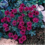 New Geranium Macrorrhizum Dark Red Flower (Pelargonium) 10+ Seeds