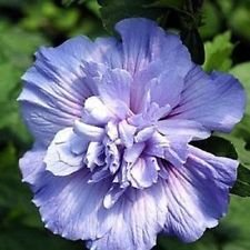 Blue Chiffon Hibiscus syriacus - Notwoodthree - Rose of Sharon - Proven Winner