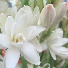Tuberose Double- The Pearl,(3 Rhizomes/Tubers). Cut flower, heavenly (Tuberose Scent)