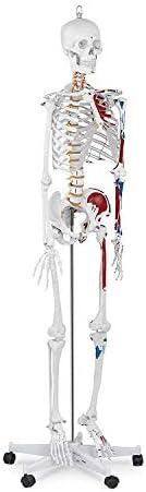 Educatief model Menselijk anatomiemodel Anatomisch Educatief Levensgroot skeletspierstelsel Spierverbindingen in kleur, schaal 1: 1, 170 cm