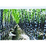 BULK 3000 SEEDS SUGAR CANE SEEDS RUM SYRUP ROCK CANDY 6-18 FEET TALL