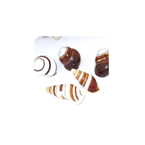 AG 10 Natural Seashells Chocolate Brown/White - Beach Crafts Aquarium Decorations Hermit Crab Growth Shells Small HCSA34
