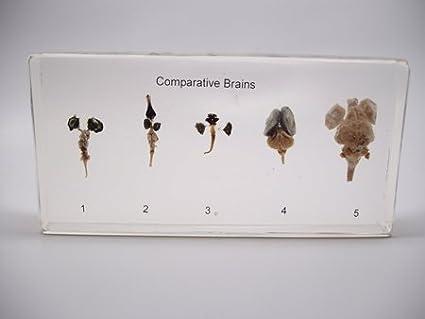Amazon.com  Lucite Treasures Comparative Brain Specimens  Home   Kitchen ca4d5dd94