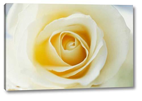 Rose Close up of White Rose in Bloom by Jan Vermeer - 24