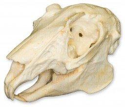 Rabbit Skull (Teaching Quality Replica)