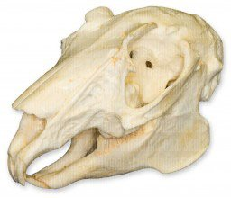 Teaching Quality Replica Rabbit Skull