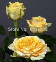 Free shipping 200 cherry brandy roses seed, beautiful color, free shipping, beautiful home garden flower easy to grow