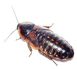Live Dubia Roaches for Feeding Reptiles (500, Small 1/2) by Blaptica dubia