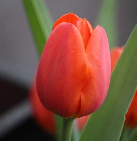 20 XL Tulpenzwiebeln in orange (10/11+) Blumenzwiebeln Angebot Blumenhandel Ullrich