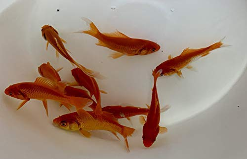 Toledo Goldfish Live Comet Goldfish (3 to 4 inches, 10 Fish) for Aquariums, Tanks, or Garden Ponds - Live Common Goldfish - Born and Raised in The USA - Live Arrival Guarantee