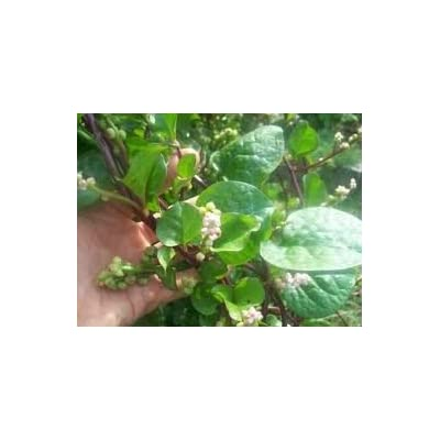 Malabar spinach Basella alba 10 seeds (Organically Grown) : Garden & Outdoor