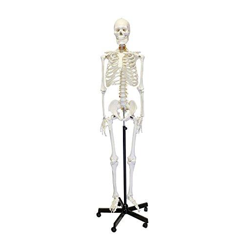 Mondo | Medical Skeleton Model, Life Size Skeleton Pose Model – Human Skeleton Model for Anatomy, Art, Halloween Decor