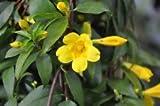 7 LIVE PLANTS YELLOW JASMINE CAROLINA JESSAMINE FLOWERS TRAILING CLIMBING VINES
