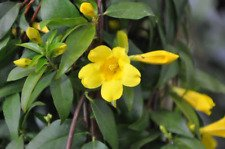 7 LIVE PLANTS YELLOW JASMINE CAROLINA JESSAMINE FLOWERS TRAILING CLIMBING VINES by  (Image #1)