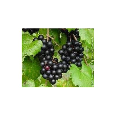 Pixies Gardens (1 Gallon Plant) Nesbitt Muscadine Grape Vine, Black Fruit are Very Large in Size, Cluster, High Yields, Very Vigorous, Disease Resistant, and Cold Hardy. Self-Fertile. : Garden & Outdoor