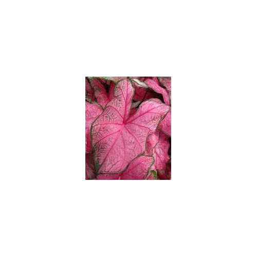 New (5) Fannie Munson Caladium Bulbs, Pretty Pink and Green Coloring, Great For Nice Colorful Foilage throughout your Garden free shipping