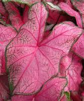 ((5) Fannie Munson Caladium Bulbs, Pretty Pink and Green Coloring, Great For Nice Colorful Foilage throughout your Garden)