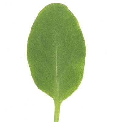 David's Garden Seeds Leafy Greens Sorrel D383A (Green) 500 Organic Seeds