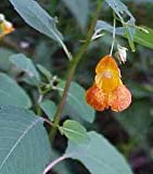 Jewel Weed, Cut&Sifted - Wildcrafted - Impatiens bilfora (454g = One Pound) Brand: Herbies Herbs