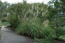 "Hardy Northern Pampas Raven Grass - Erianthus ravennae - 4"" Pot"
