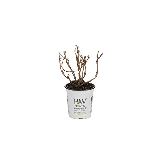 Black Lace Elderberry (Sambucus) Live Shrub, Pink Flowers, 4.5 in. Quart by Proven Winners (Image #3)