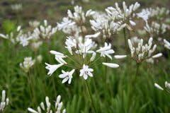 【山野草】白花アガパンサス