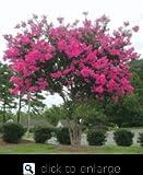 Pink Velour Crape Myrtle Five Gallon Plant
